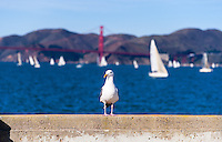 United States, California, San Francisco. Fort Mason. A Western Gull in the foregorund, Golden Gate bridge in the background.