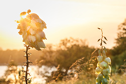 Arkansas yucca (Yucca arkansana) and  other wildflowers in Blackland Prairie remnant overlooking White Rock Lake at sunset, Dallas,Texas, USA