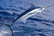 Colorful jumping Atlantic Blue Marlin