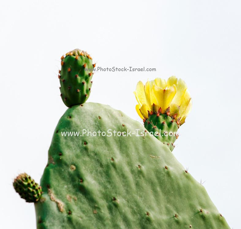 Israel, flowering Tzabar (Opuntia ficus-indica aka Indian Fig Opuntia)