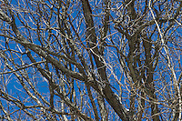 Tangle of Tree Branches in Winter. Image taken with a Nikon D3s and 70-200 mm VRII lens (ISO 200, 140 mm, f/8, 1/500 sec).