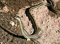 Garter Snake hunting , Pinnacles National Monument, CA
