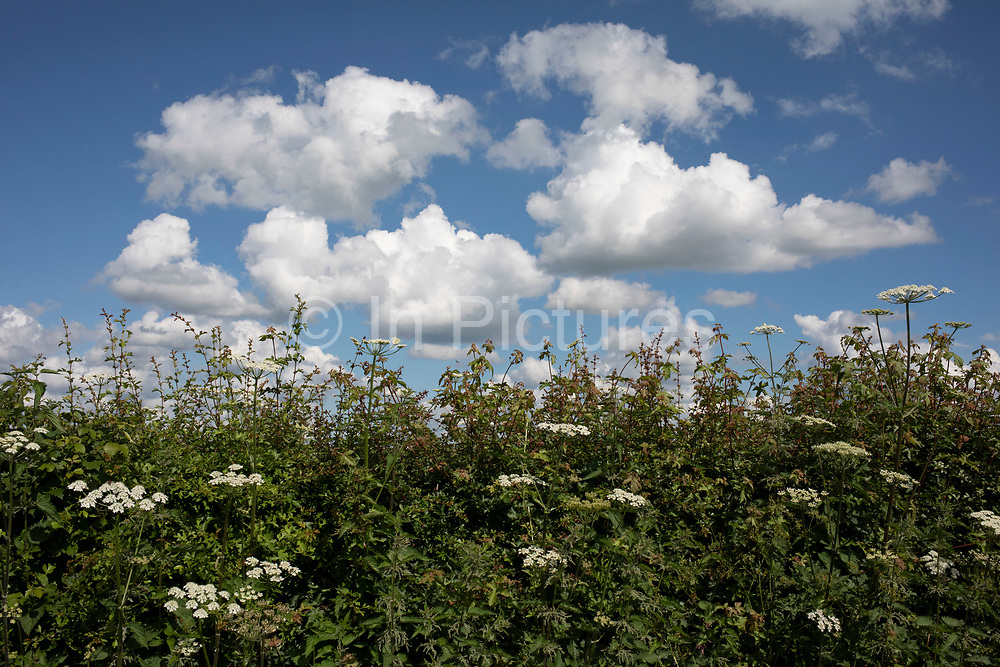 Nature of the ground and sky with Cow Parsley reaching for the clouds in Himbleton, United Kingdom. Anthriscus sylvestris, known as cow parsley, wild chervil, wild beaked parsley, or keck is a herbaceous biennial or short-lived perennial plant in the family Apiaceae, genus Anthriscus.