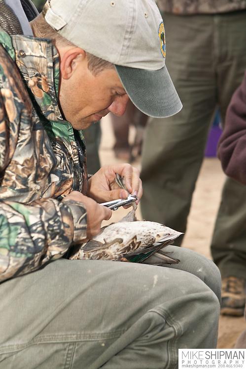 Duck banding, Deer Flat National Wildlife Refuge, Nampa, Idaho
