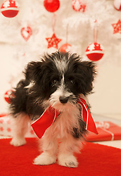 Close up of a black and white puppy standing by a Christmas tree