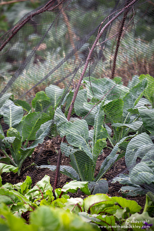 Netting on framework protecting cabbages from Cabbage White butterfly damage