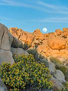 Bladderpod Bush and Rising Full Moon in the Granite Mountains, Mojave National Preserve, California