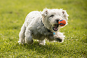 Wilson the West Highland White enjoying himself with a ball