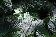 Shiny leaves grow in a garden in Seattle, Washington.