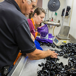 Owner Ralph Smith with his granddaughter, Micki Beal, sorting mussels at Moosabec Mussels, Inc., in Jonesport, Maine.