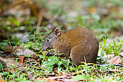 Musky Rat Kangaroo eats nut on forest floor, Daintree rainforest, Queensland, Australia