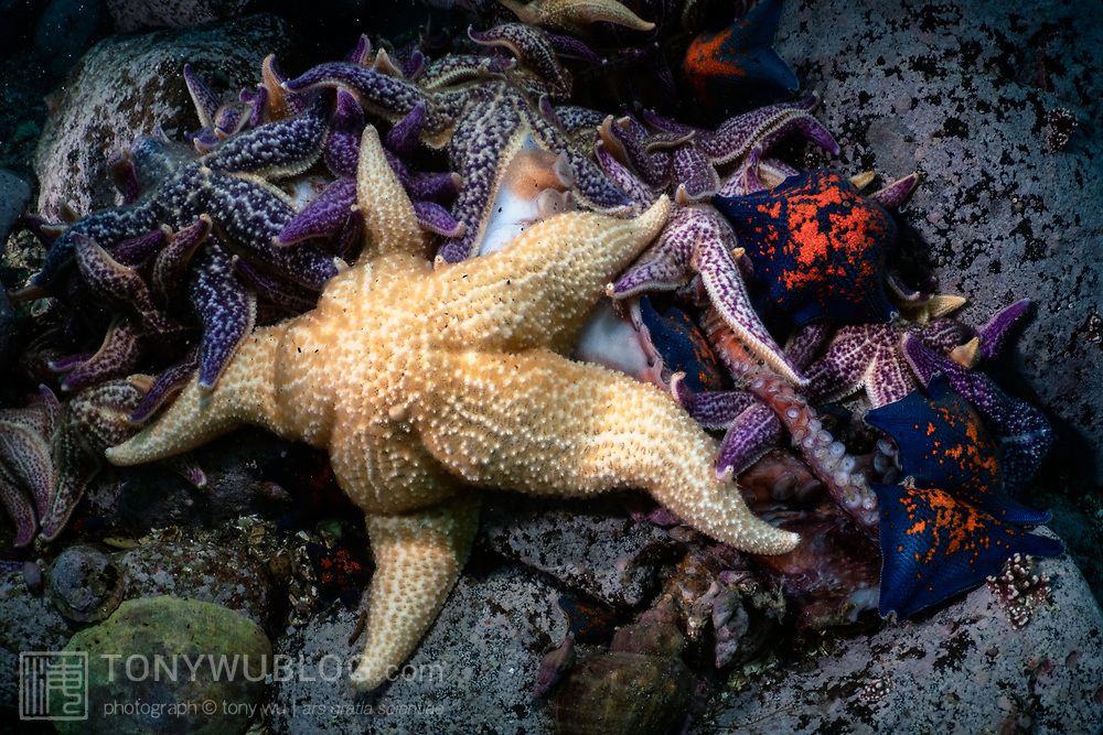 This is a pile of northern Pacific seastars (Asterias amurensis) and blue bat seastars (Patiria pectinifera) that are scavenging a dead giant pacific octopus (Enteroctopus dofleini). It took several days for the entire octopus to be consumed.