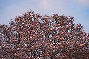 Sunset shines over snow covered black alder (Alnus glutinosa), near Lancenieki, Kurzeme, Latvia Ⓒ Davis Ulands | davisulands.com