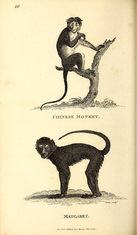 Prude and Long-Nosed Monkeys from General zoology, or, Systematic natural history Part I, by Shaw, George, 1751-1813; Stephens, James Francis, 1792-1853; Heath, Charles, 1785-1848, engraver; Griffith, Mrs., engraver; Chappelow. Copperplate Printed in London in 1800. Probably the artists never saw a live specimen