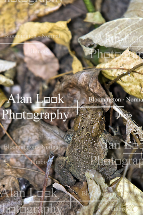 10 Oct 2011: Southern Toad. Rural Indiana, specifically in or close to Brown County. (Photo by Alan Look)