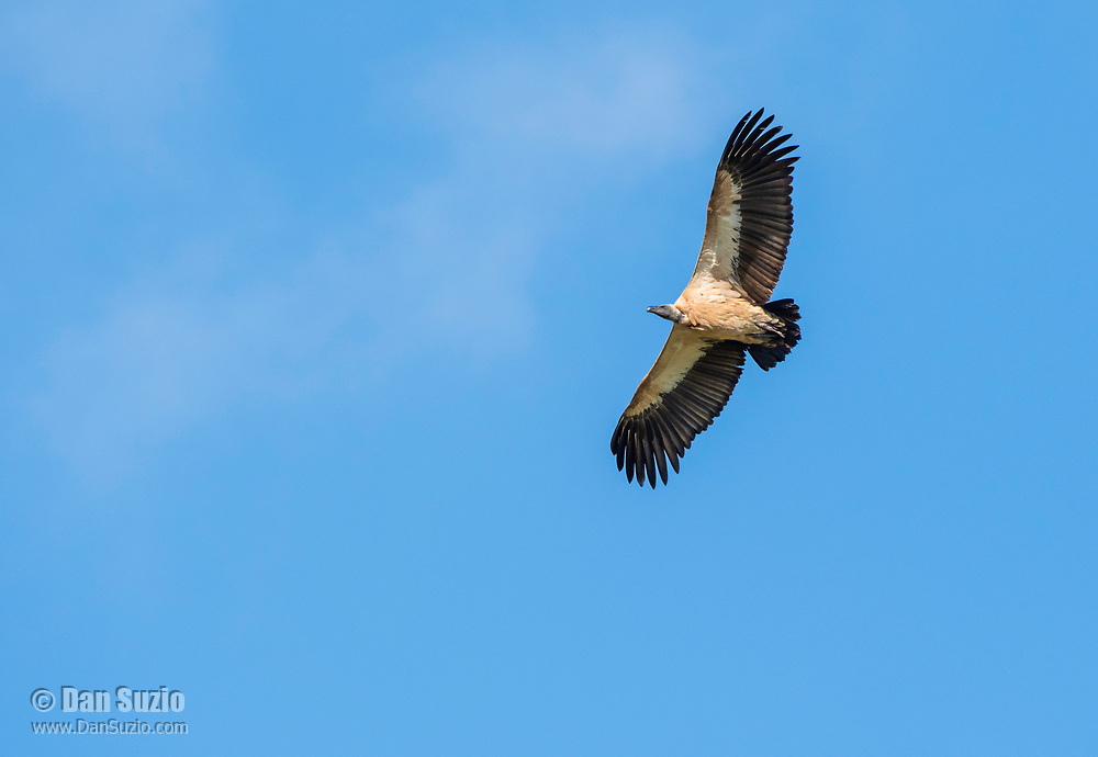 African White-backed Vulture, Gyps africanus, soaring near Lake Manyara National Park, Tanzania