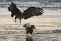 A bald eagle (Haliaeetus leucocephalus) standing on the remains of a salmon on a sinking piece of ice, while another eagle challenges him from behind.
