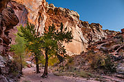 Cottonwood trees in Spring Canyon. In Capitol Reef National Park, we hiked impressive sandstone gorges from Chimney Rock Trailhead over to Spring Canyon and down to a car shuttle at Highway 24 (10 miles one way with 1100 ft descent and 370 ft gain), Torrey, Utah, USA.