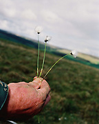 Hill farmer, John Rayner holds cottongrass known locally as 'moss crops' in his hand on the Moor in Nidderdale, North Yorkshire, UK