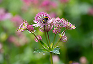 A bee on Astrantia major in a border at Stockton Bury Gardens, Kimbolton, Leominster, Herefordshire, UK