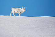 A Svalbard reindeer (Rangifer tarandus platyrhynchus) walking on the snow against a bright blue sky ,Svalbard, Norway