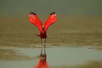 A female Scarlet Ibis (Eudocimus ruber) shaking out its wings after bathing in a puddle on the mudflats of the Orinoco River Delta, Venezuela.