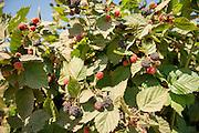 Triple Crown blackberries