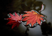 Leaves from the Acer Shirasawanum Japanese Maple float in the water feature at the Japanese Gardens of the Washington Park Arboretum in Seattle. (Jim Bates / The Seattle Times)