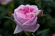Rosa [Scepter'd Isle] = Ausland at RHS Wisley Garden, Woking, Surrey, UK