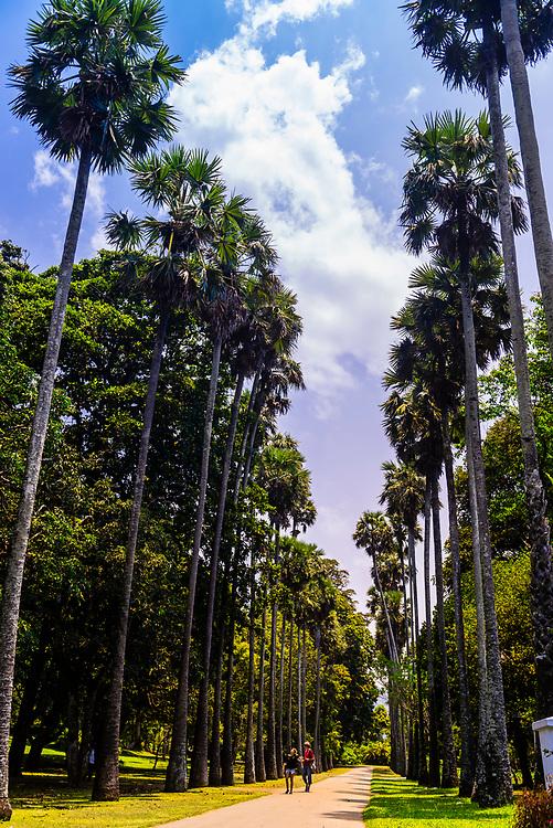 Palmyrah Palm Avenue, Royal Botanical Gardens, Peradeniya, Kandy, Central Province, Sri Lanka.
