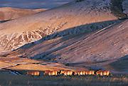 Prezewalski's horses (Equus caballus)<br /> Khustain Nuruu National Park<br /> Mongolia