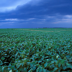 Queen Anne's County, MD. A storm front moves in over a field of soybeans at Chino Farms. Eastern Shore.