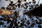 Camanducaia_MG, Brasil...Araucaria em Camanducaia...Araucaria in Camanducaia...Foto: LEO DRUMOND / NITRO.....