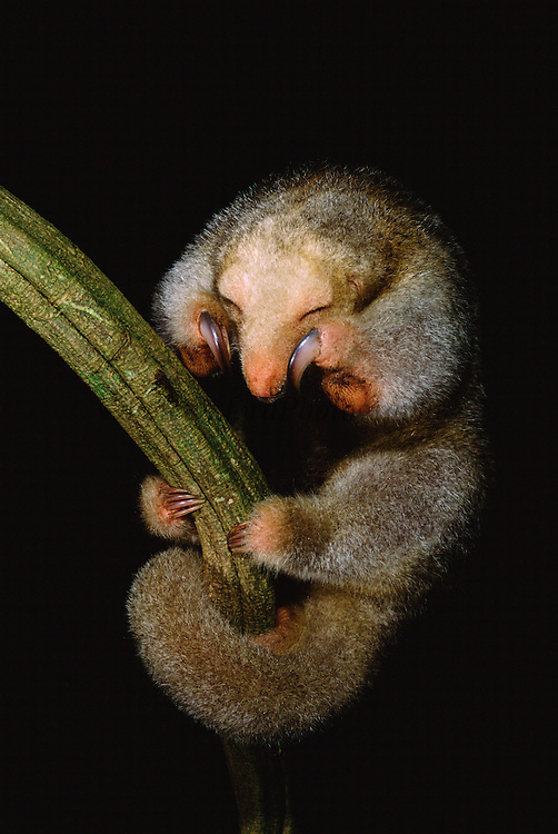 Pygmy or Silky Anteater<br /> Cyclopes didactylus<br /> Iwokrama Reserve, GUYANA  South America<br /> RANGE: Central & South America SE Mexico to SE Bolivia and S. Brazil & Trinidad and Tobago