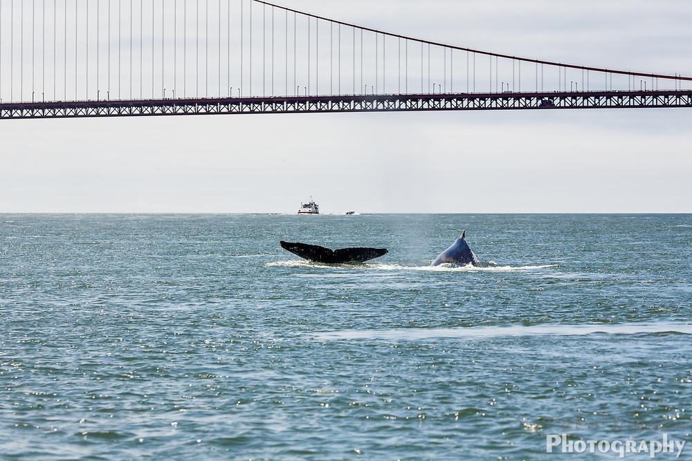 Humback whale and San Francisco Bay Golden Gate Bridge