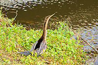 Also known as the snakebird, the anhinga is a common fish-eating bird found along the coasts and interior of Florida and as far south as the Southern Amazon in Brazil. This female is in full breeding plumage on a warm spring day in the Florida Everglades.