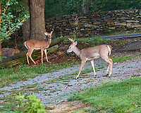 Pair of young bucks with antlers. Image taken with a Fuji X-H1 camera and 80 mm f/2.8 OIS macro lens