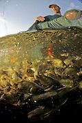 Israel, Coastal Plains, Kibbutz Maagan Michael, harvesting Carp (Cyprinidae) caught in the net before sorting