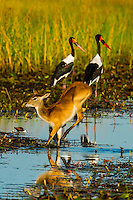 A red lechwe (antelope) jumping across a stream with two saddle-billed storks behind, near Kwara Camp, Okavango Delta, Botswana.