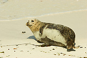 Common seal, harbour seal, Phoca vitulina, female on beach, Sanday, Orkney, Orkney Isles. <br /> animal; animals; mammal; mammals; nature; wildlife;<br /> sea; coast; coastal; pinniped; pinnipeds;<br /> brown; grey; gray; watch; watching; look; looking;<br /> adult; sand; beach;