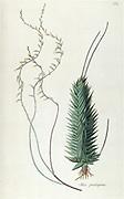 Hand painted botanical study of an Aloe pentagon plant anatomy from Fragmenta Botanica by Nikolaus Joseph Freiherr von Jacquin or Baron Nikolaus von Jacquin (printed in Vienna in 1809)