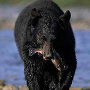 Black Bear, (Ursus americanus) Montana. Adult at river fishing.  Captive Animal.