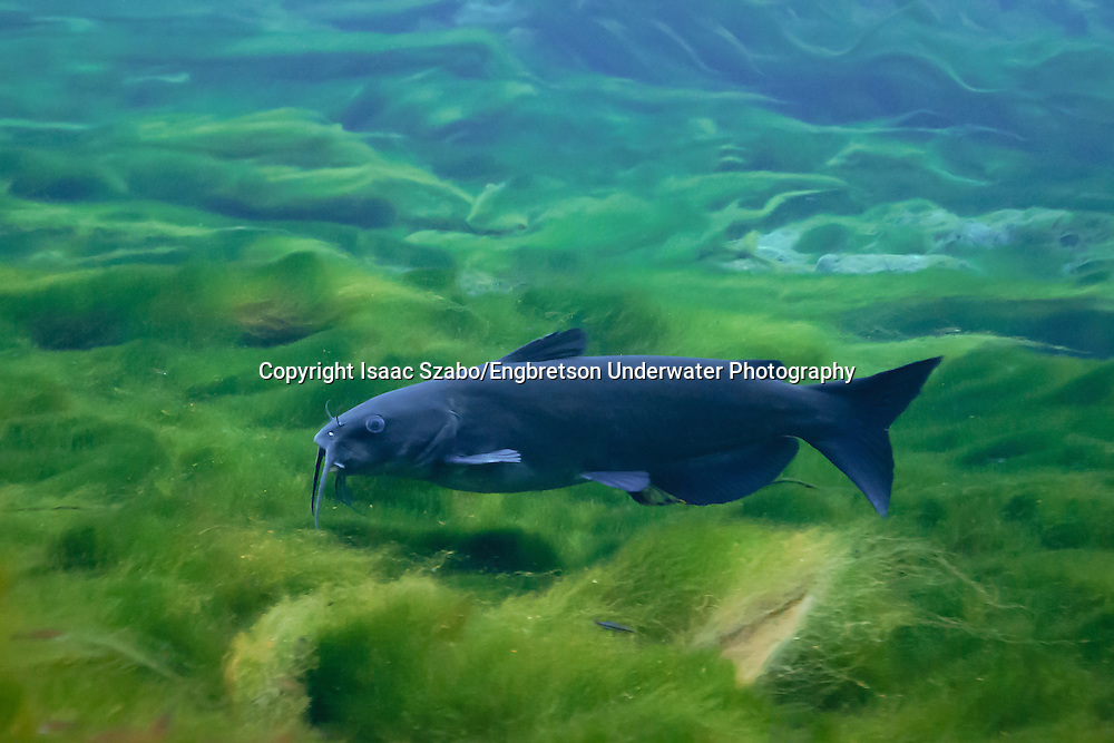 Channel Catfish<br /> <br /> Isaac Szabo/Engbretson Underwater Photography