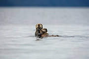 Sea otter mother holding pup