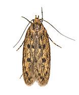 28.010 (0647)<br /> Brown House-moth - Hofmannophila pseudospretella
