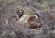 A grizzly bear, Ursus arctos horribilis, feeds on a dead bison in Yellowstone National Park, Wyoming.