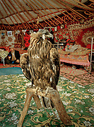 Guarding the yurt's entrance, Rus Bosara's eagle stands on its tripod.<br /> <br /> Eagle Hunting festival in Western Mongolia, in the province of Bayan Olgii. Mongolian and Kazak eagle hunters come to compete for 2 days at this yearly gathering. Mongolia