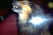 Rabid dog trapped in car in the heat of the August dog days.  Dundee Wisconsin USA