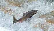 Chinook Salmon<br /> <br /> Patrick Clayton/Engbretson Underwater Photography