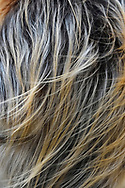 Fur detail of a Golden Snub-nosed Monkey, Rhinopithecus roxellana, Foping Nature Reserve, Shaanxi, China